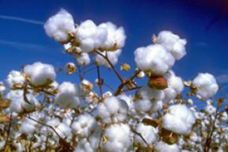 Cotton-plant-with-blue-sky.jpg
