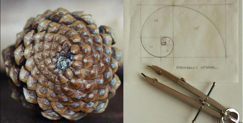 pinecones and Fibonacci spirals