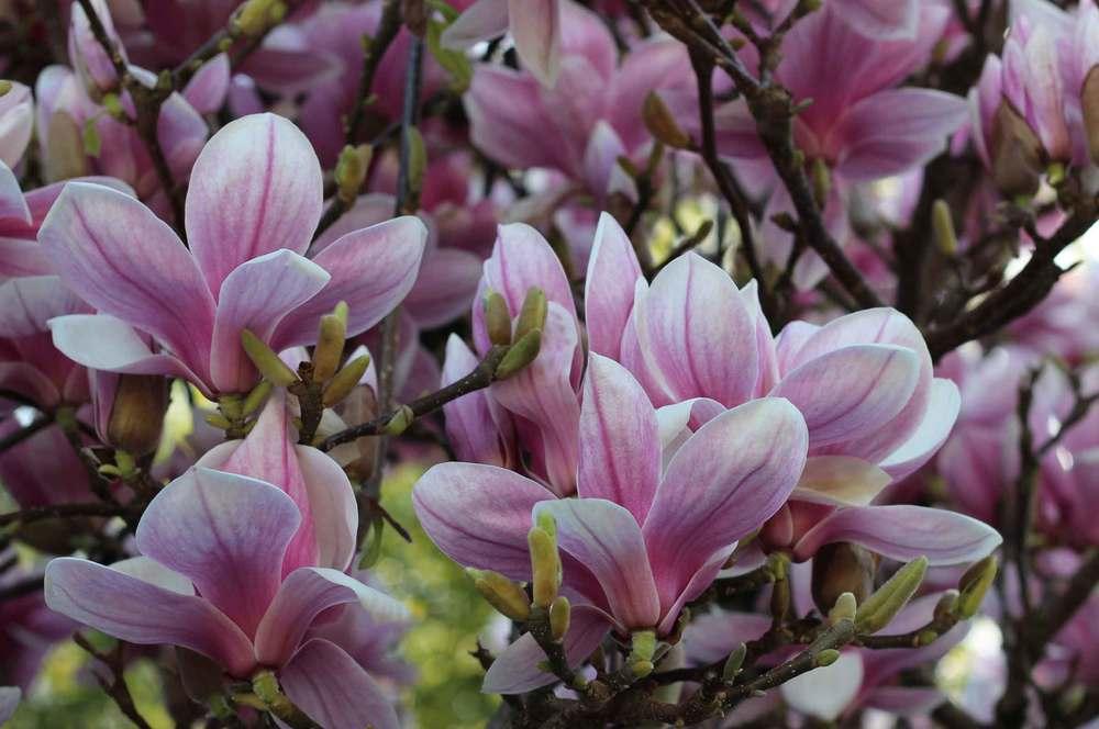 Gorgeous magnolia blossoms
