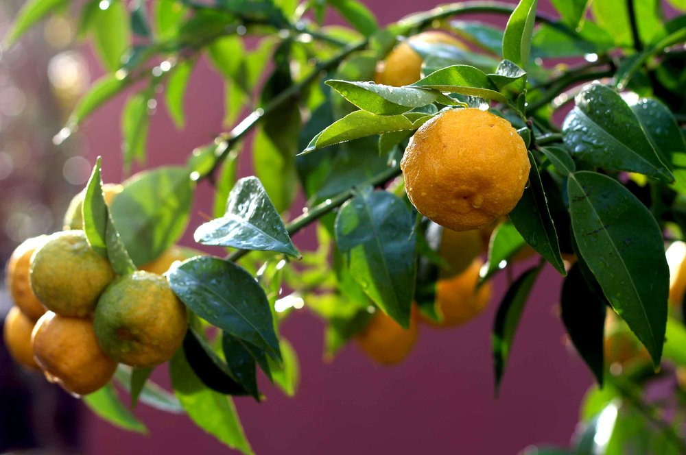 A cluster of yuzu fruit on the branch. Find a versatile yuzu dressing recipe with miso at threadandwhisk.com.