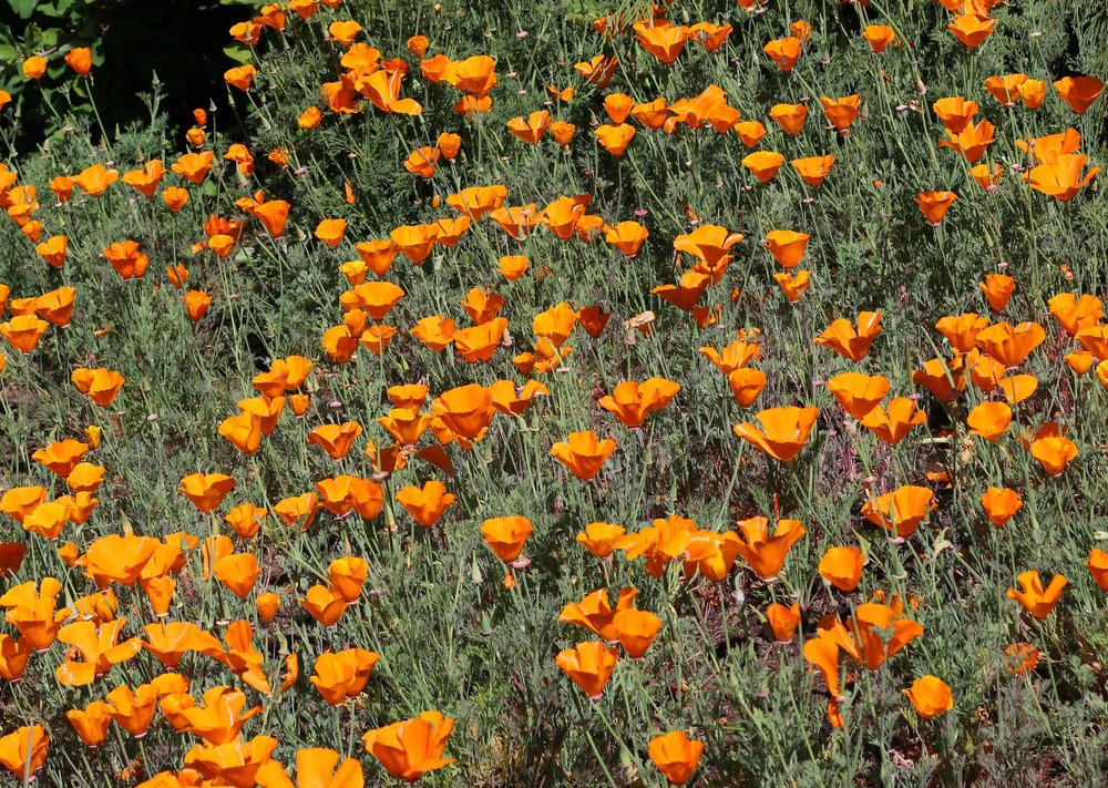 Plant a field full of poppies like these orange beauties by making seedballs and flinging them into a field with a slingshot.  Find out how to make this fun and easy project at threadandwhisk.com
