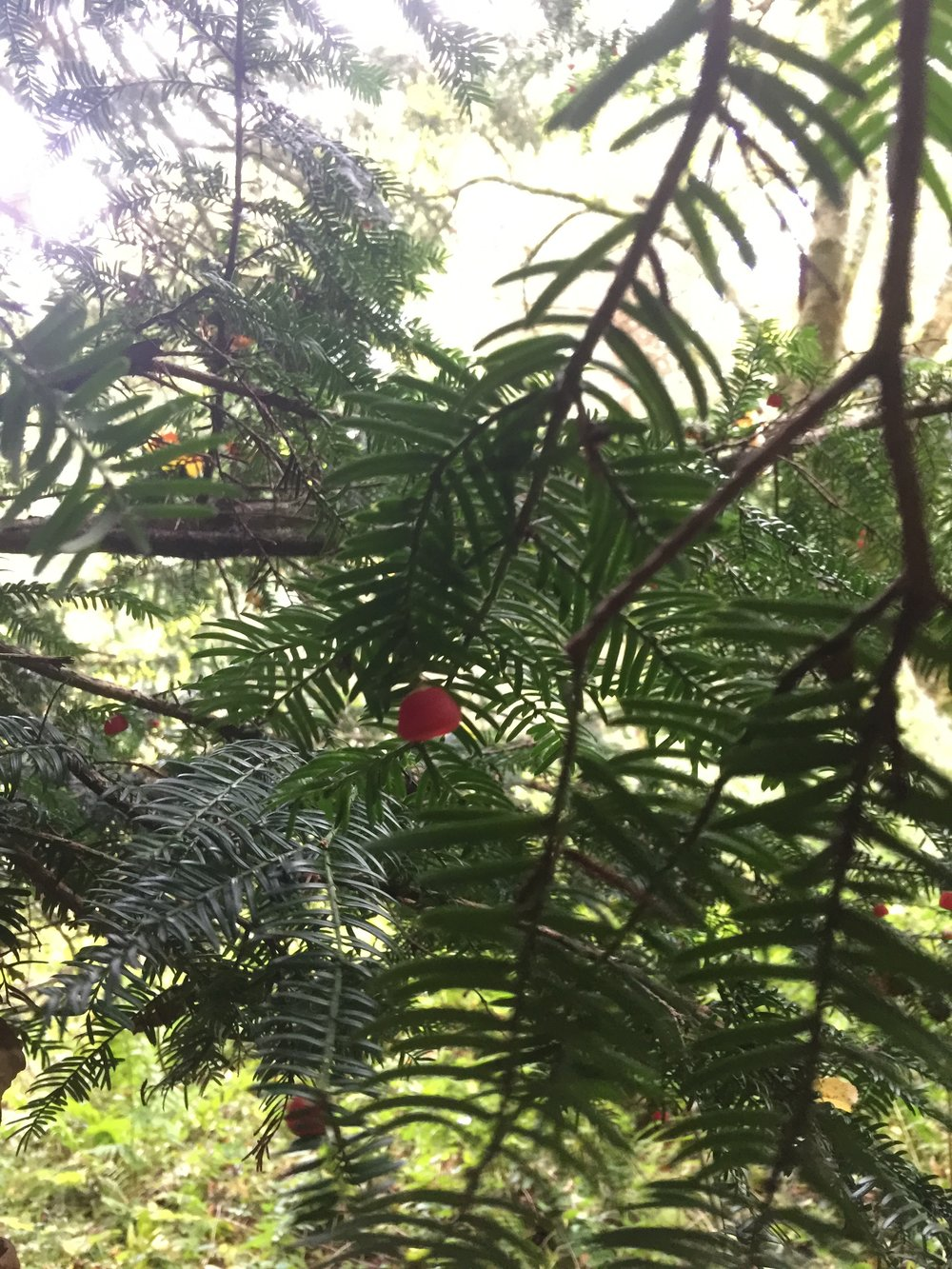 Yew Tree Branches and Fruit, Roslin Glen 2017