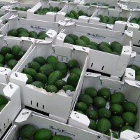 Freshly packed organic Hass avocados from GreenPath's partner farmers.