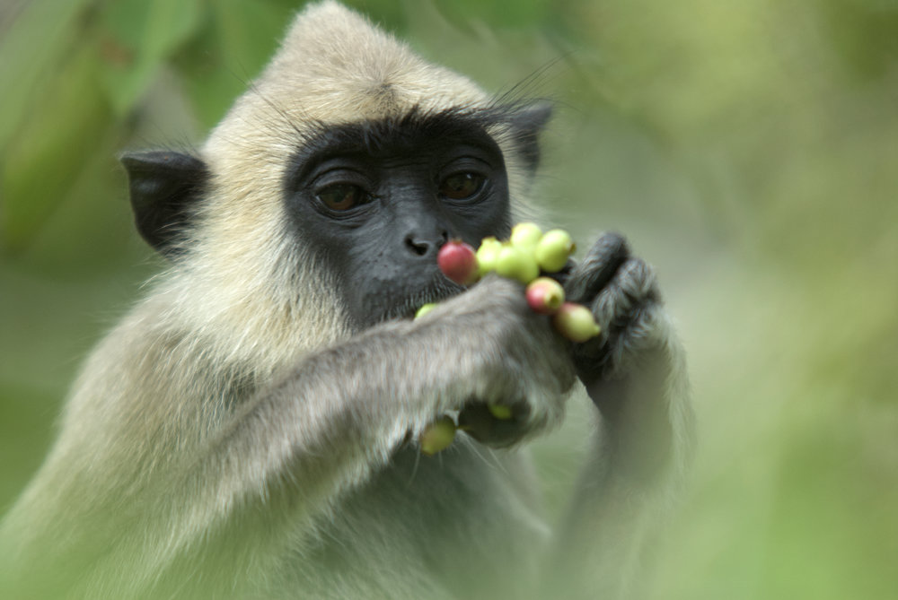 Langur and fruit.jpg