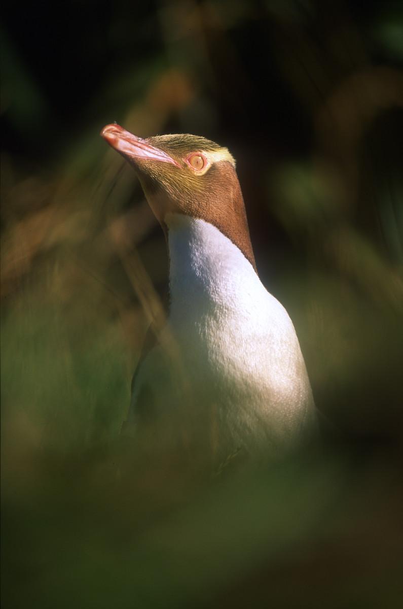 Yellow eyed penguin 9.jpg