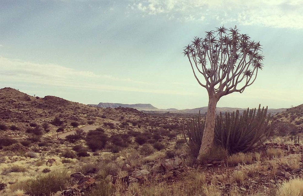 Typical Northern Cape Landscape with Quiver tree