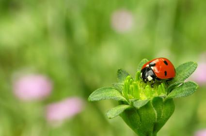 ladybug-red.jpg