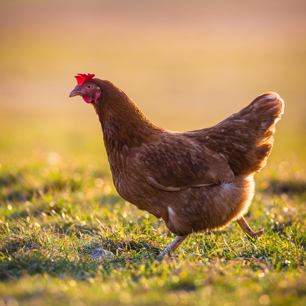 free-ranging-chicken.jpg