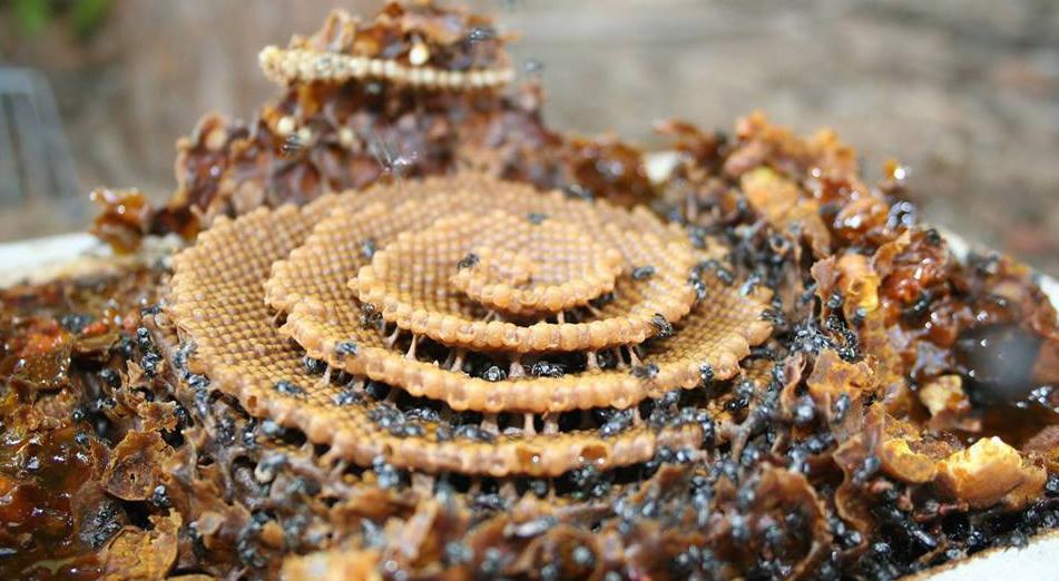 Inside a Tetragonula Carbonaria spiral hive