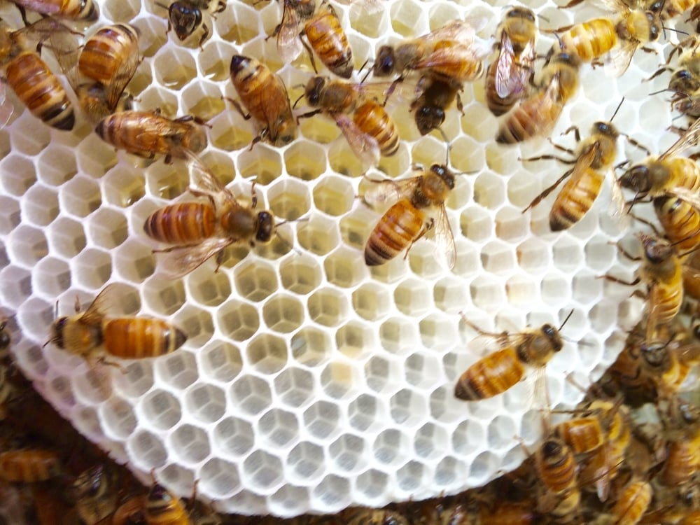 Busy Bees:  Bees building comb and making honey. © Julie Gundlach
