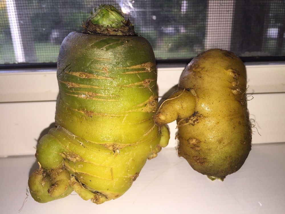 """Our beloved ""carrot pets"" grown organically on the ""light feeder"" side of our veggie garden"" - Mel Chiew"