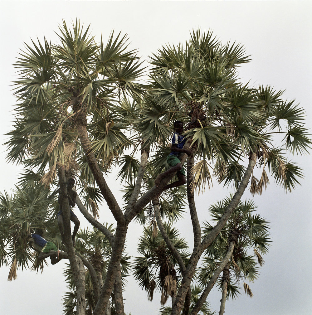 Young boys climb a coconut tree to look for small coconuts and a view.