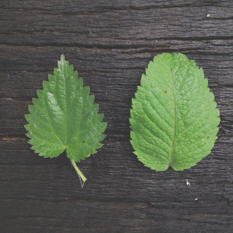 The nettle & the mint leaf
