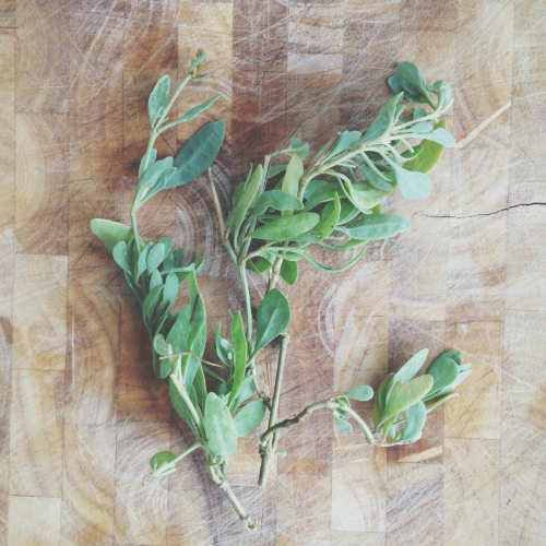 Foraged sea purslane
