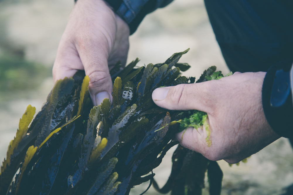 edible seaweed and coastal foraging course dorset