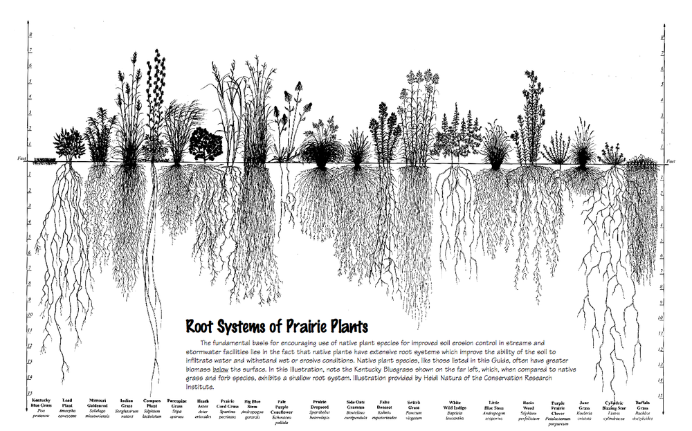 Root systems of the grasses as well as some wildflowers   Reprinted from the Natural Resources Conservation Service (NRCS) Illinois Native Plant Guide, Illinois Native Plant Guide: Root Systems of Prairie Plants