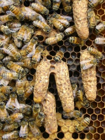 Large queen cells, likely swarm cells.