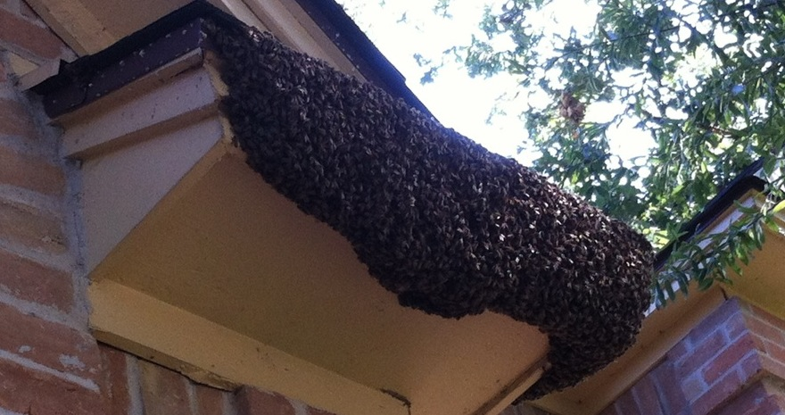 Very large  swarm on a decorative roofline over a window
