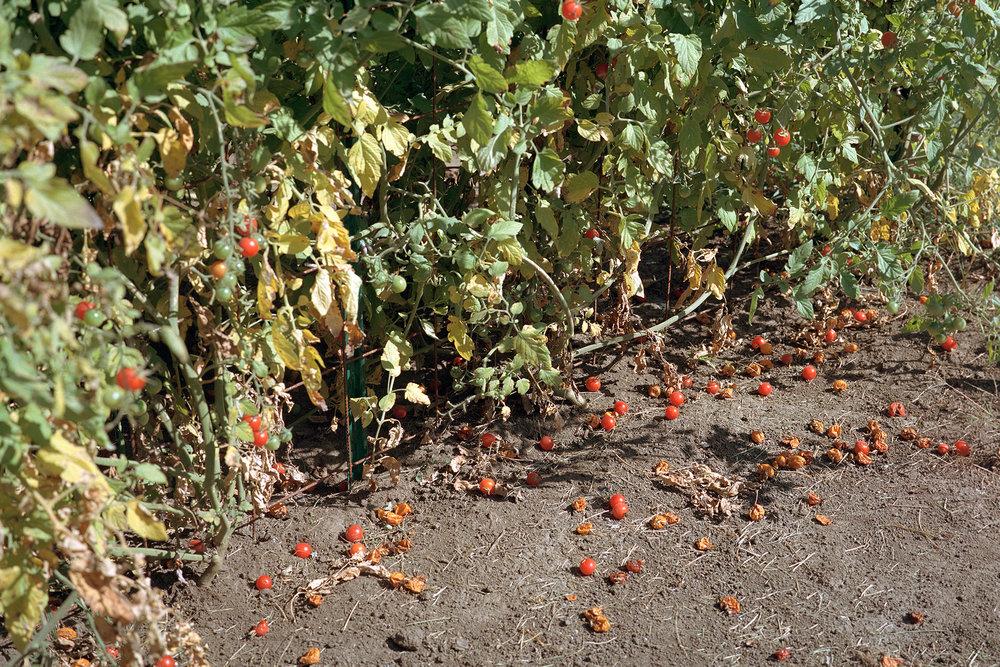 Cherry-tomatoesweb.jpg