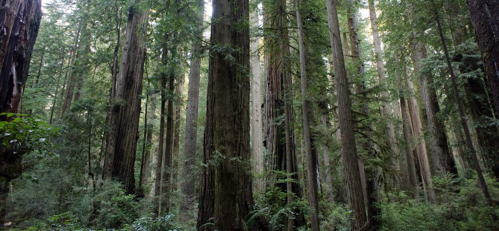 Old Growth Forests In The Santa Cruz Mountains Bioregion Are Composed Of Large Coast Redwood Sequoia Sempervirens And Douglas Fir Pseudotsuga Menziesii