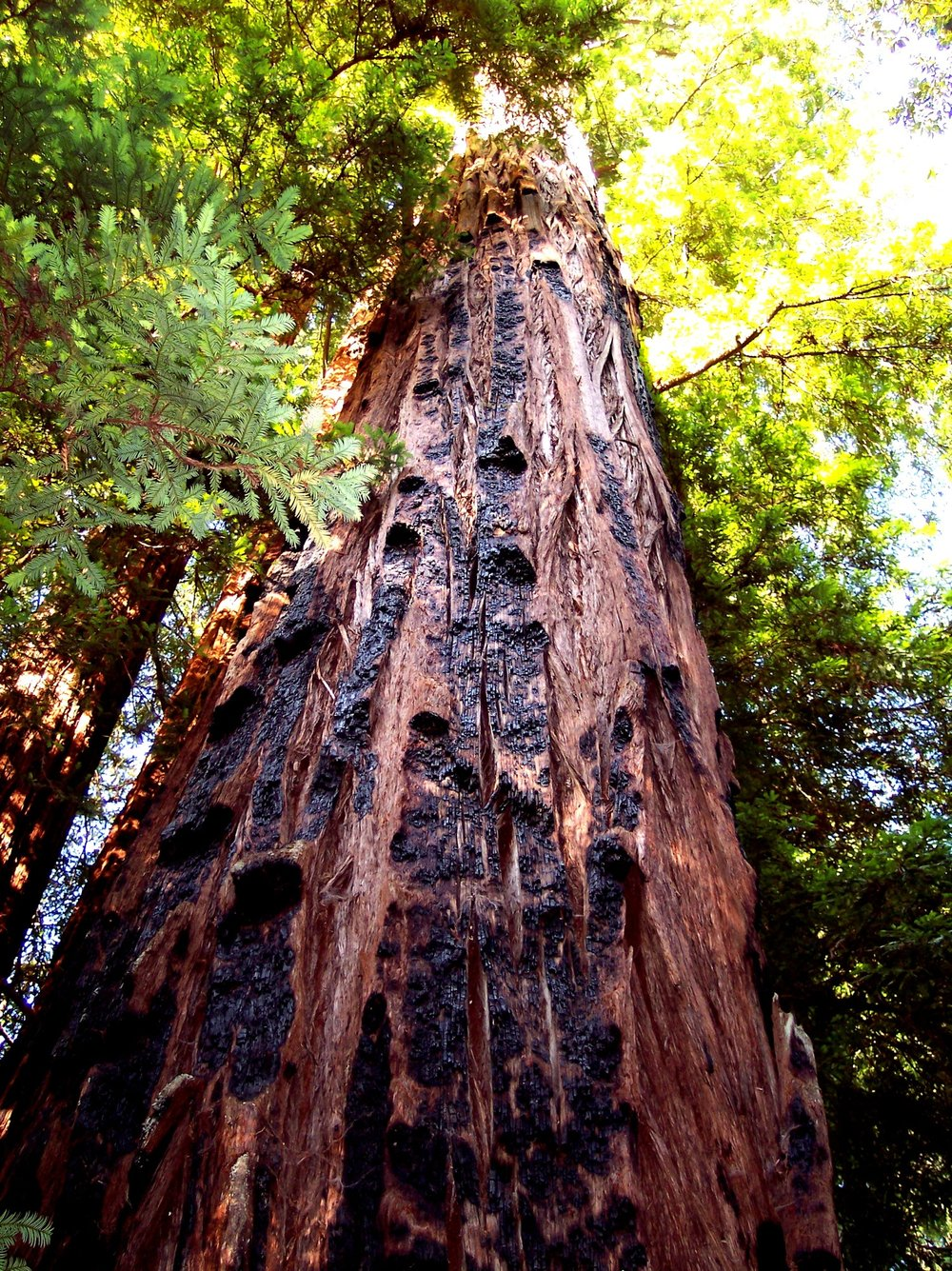 Fire scars on old growth redwood @ Big Basin State Park