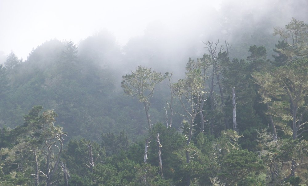 Monterey Pine Forest shrouded in fog at Waddell Creek