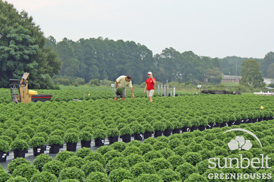 Sunbelt head grower Bill Bicknese checks the progress of mums in an outdoor field.