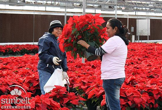 "Our 2011 crop of 8"" poinsettias in the greenhouse."
