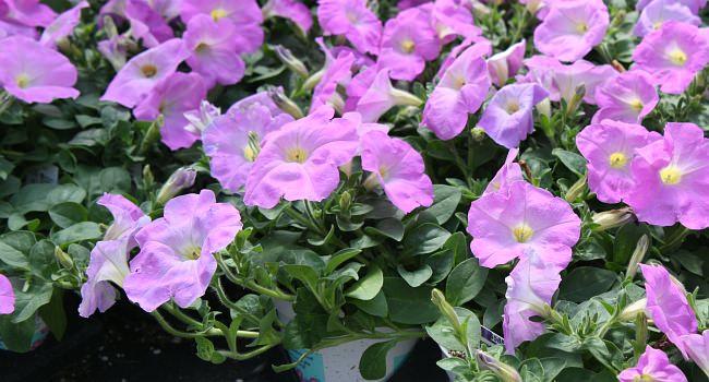 Petunia Ramblin'™ Lavender