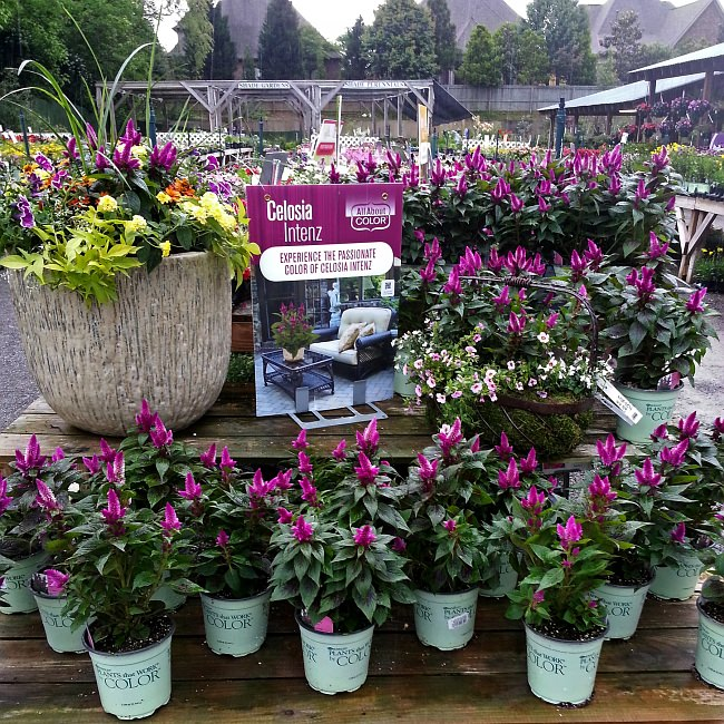 Andy's Creekside Garden Center - Celosia Intenz Endcap Challenge winner • photo courtesy of Andy's
