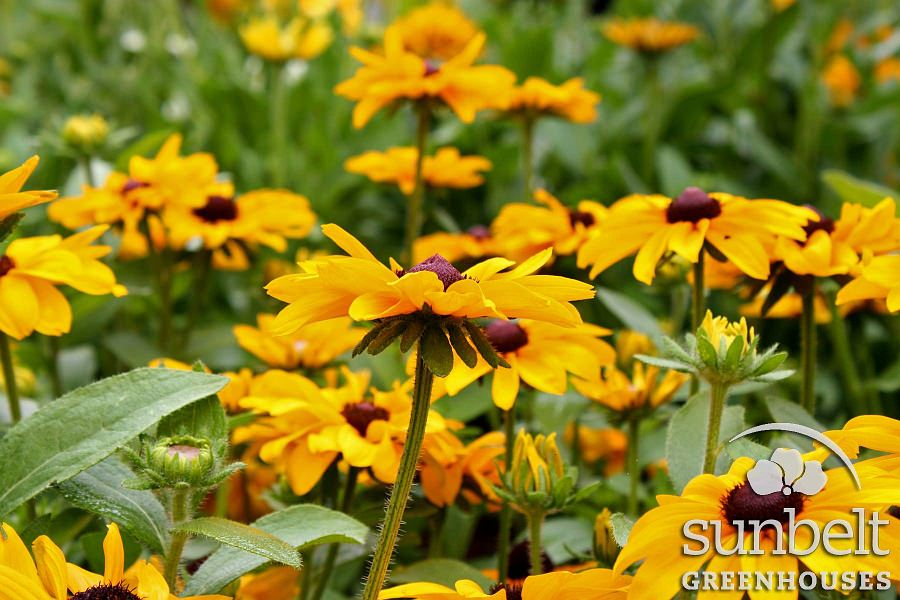 Rudbeckia 'Tiger Eye Gold