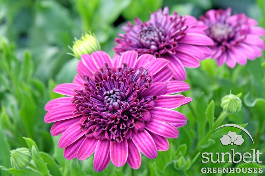 edit-4third-ptw-osteospermum-3d-purple.jpg