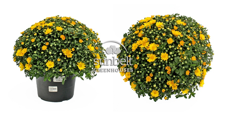 "9"" Garden Mum 'Michelle Yellow' • top and side views • 2013 crop"