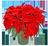 "8"" Florist Red"