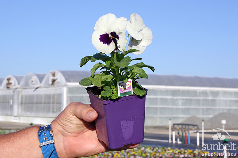 "3.5"" Pansies and Violas"