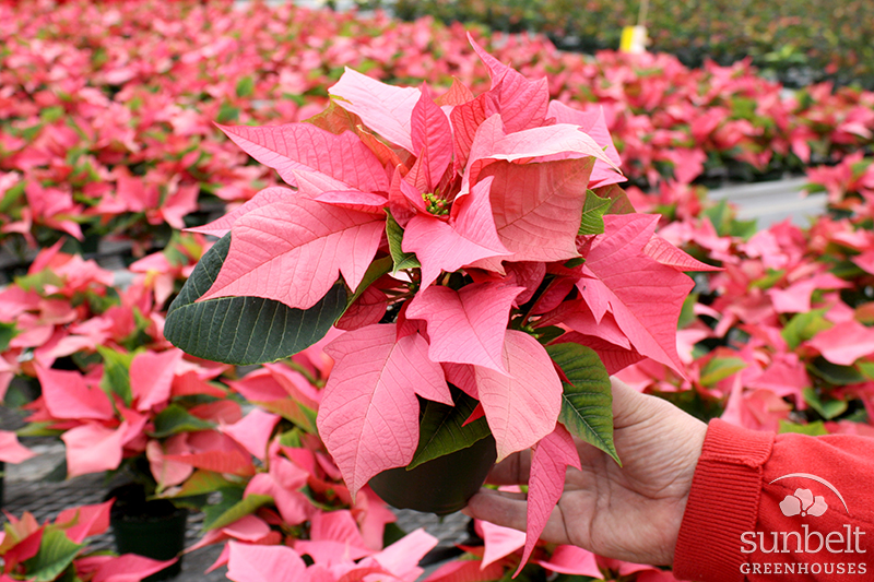 """Copy of 4.3"""" Pink Poinsettia"""