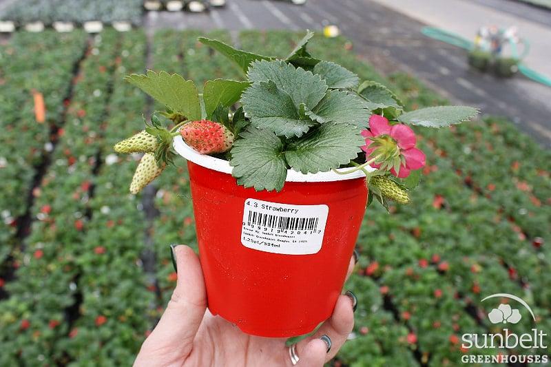 "4.3"" Strawberry"