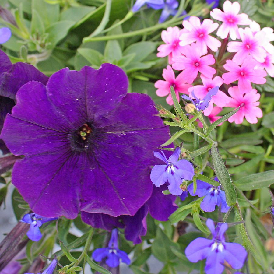 1380  Lobelia Techno Heat Dark Blue, Petunia Suncatcher Midnight Blue, Verbena Lanai Bright Eye