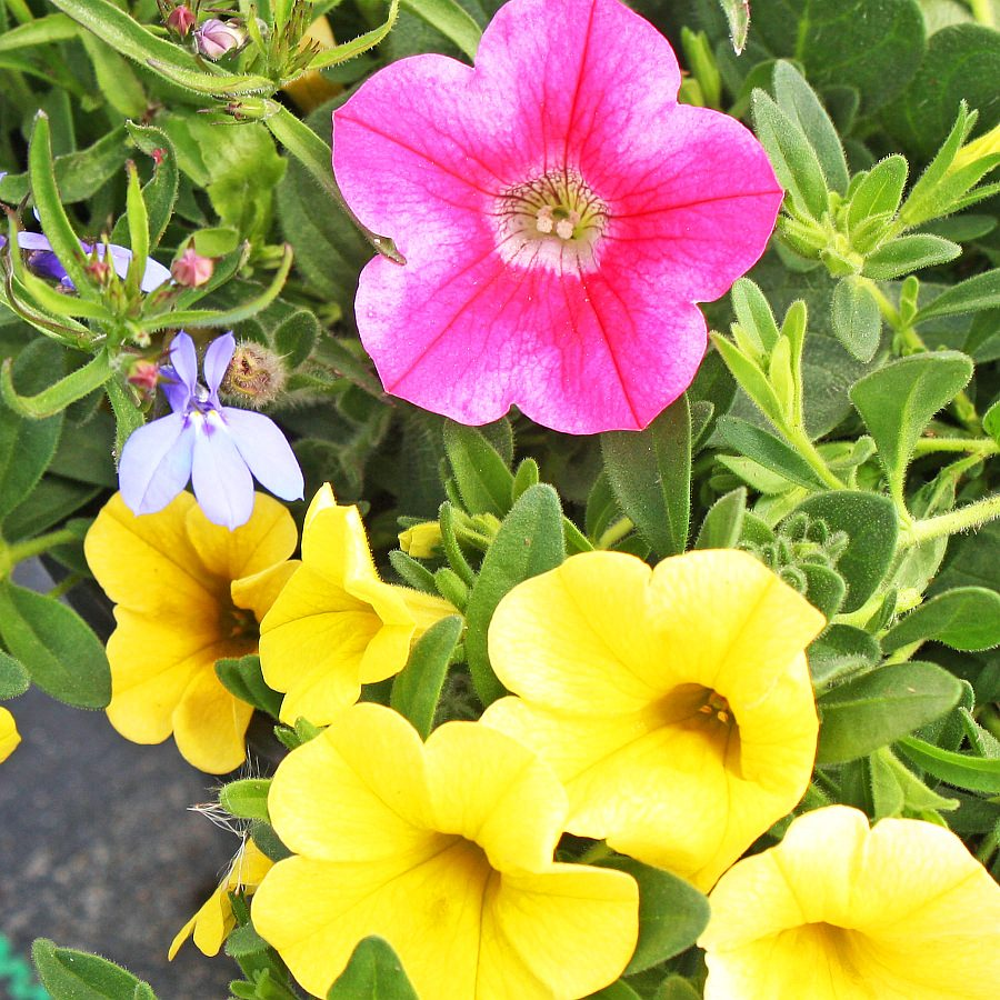 1383  Calibrachoa MiniFamous Dbl Deep Yellow, Lobelia Techno Heat Lt Blue. Petunia Whispers Star Rose