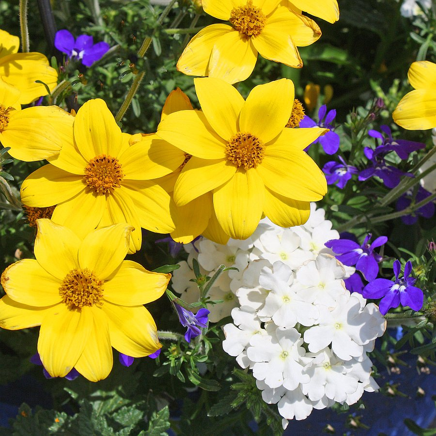1387  Bidens Namid Special Yellow, Lobelia Magadi Dark Blue, Verbena Pops White
