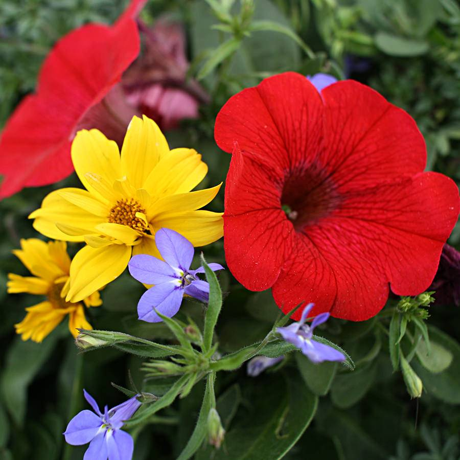 1391  Bidens Mexican Gold, Lobelia Techno Heat Elec Blue, Petunia Cascadia Simply Red