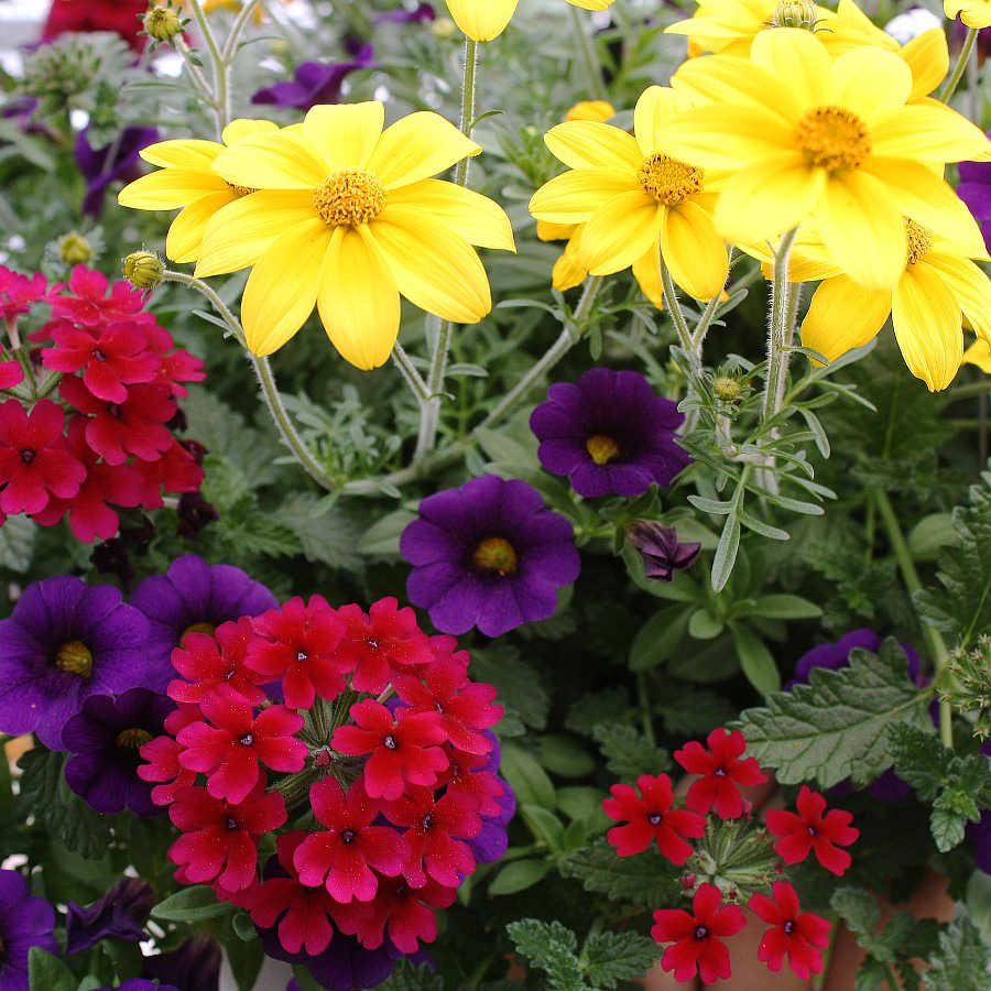 1396  Bidens Namid Early Yellow, Calibrachoa MiniFamous Royal Blue, Verbena Lascar Compact Burgundy
