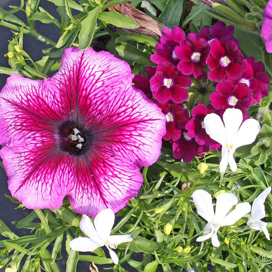 1397  Lobelia Techno Heat White, Petunia Suncatcher Plum Burst, Verbena Royal Purple w/Eye