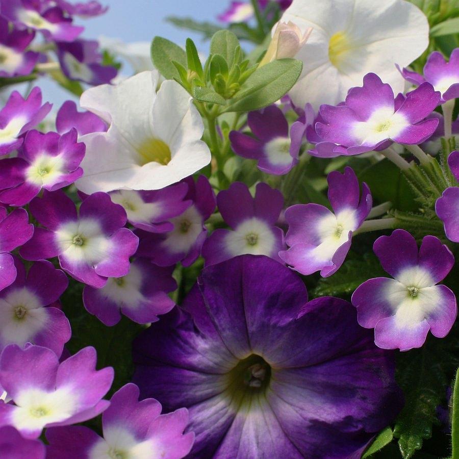 1401 Calibrachoa Cabaret White, Petunia Flash Mob Bluerific, Verbena Aztec Violet Wink