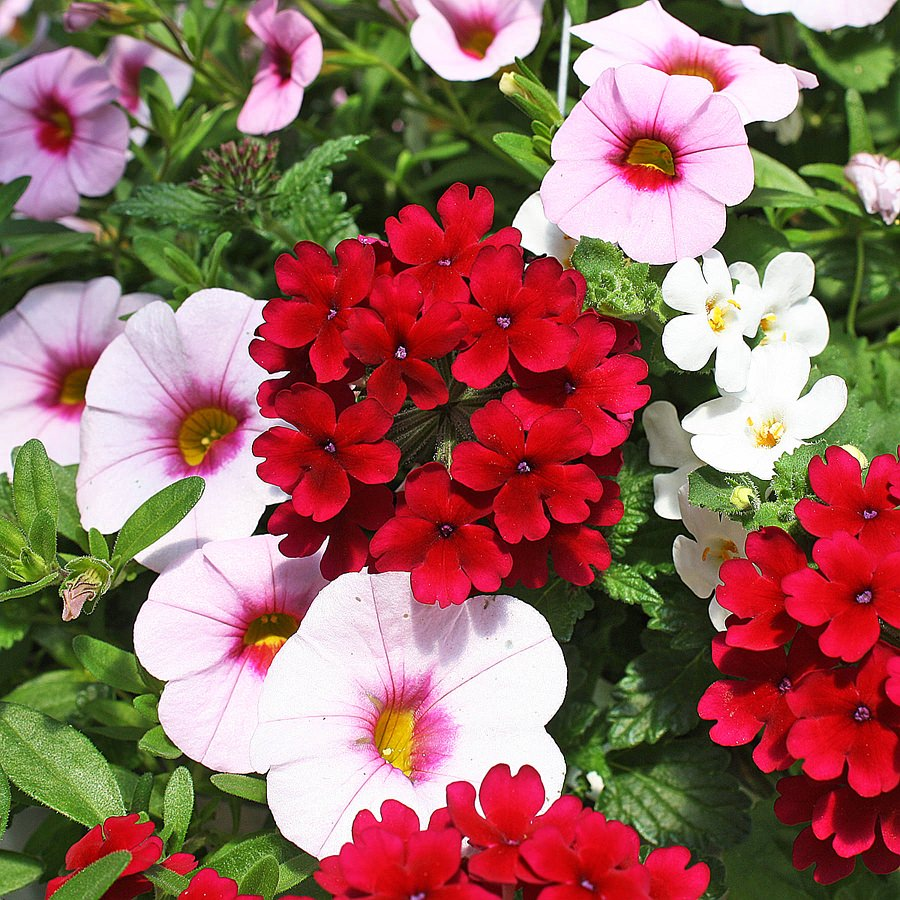 1398  Bacopa Gulliver White, Calibrachoa MiniFamous Light Pink Eye, Verbena Lascar Comp Burgundy