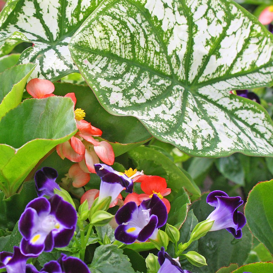 1442  Begonia BabyWing White Brz Leaf, Caladium White Delight, Torenia Kauai Deep Blue