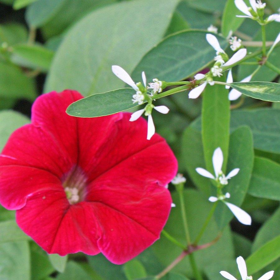 1450 Euphorbia Euphoric White, Petunia Ramblin' Neon Rose