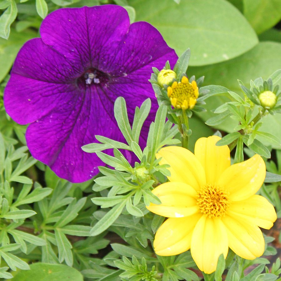 1451  Bidens Namid Compact Yellow, Petunia Ramblin' Nu Blue