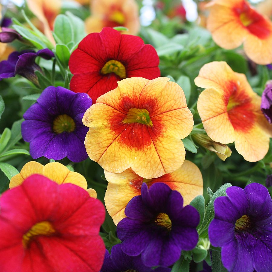 1473  Calibrachoa Minifamous Neo Orange Red Eye, Neo Royal Blue, Vampire Red