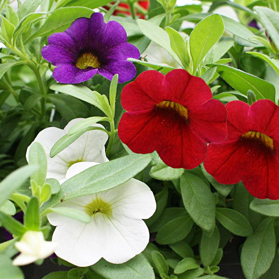 1475  Calibrachoa Minifamous Neo Royal Blue, Neo White, Vampire Red